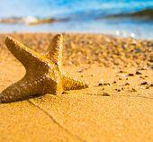 picture of starlet  - Fallen Star Sea Starlet - JPG