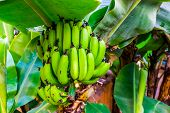 Large Banana Bunch On A Tree, Fruit Bearing Plants, Edible Banana Plant Specie From Asia poster