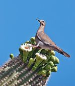 White-winged dove perched on cactus