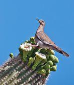 Paloma de ala blanca – encaramado en cactus