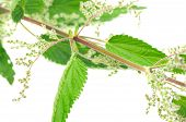 Flowering Stinging Nettle (Urtica Dioica)