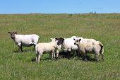 Sheared Sheep With Lambs On A Dike