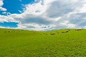 Common view in the New Zealand - hills covered by green grass with herds of sheep poster