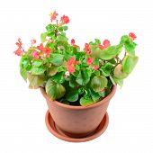 Begonia Flower In Pot
