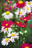 Red and white pyrethrum or chamomile flowers