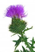 stock photo of scottish thistle  - Bull scotch thistle flower isolated on white background - JPG