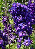 Purple/Blue Flowers