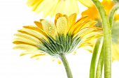 Yellow Gerbera Flower Extreme Close Up