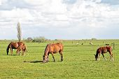 Horses grazing in the countryside from the Netherlands