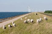 Sheep , Sea And Windturbines In The Netherlands