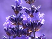 stock photo of lavender field  - Blue lavender in garden on a summer day - JPG