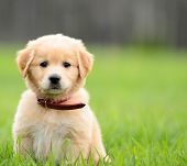stock photo of mutts  - Puppy Sitting In the grass with copyspace on the right - JPG