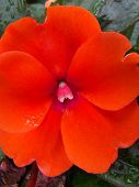 Early Morning Impatiens
