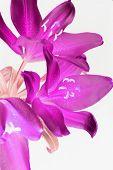 Постер, плакат: Пурпурная Лилия
