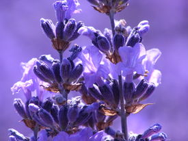 picture of lavender field  - Blue lavender in garden on a summer day - JPG