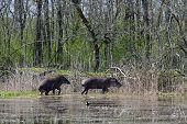 Walking tapir