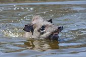 Tapir in the water