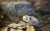 Timber Rattlesnake, Crotalus Horridus Horridus at the Forest Floor
