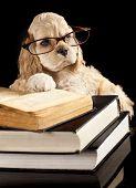 american cocker spaniel wearing reading glasses