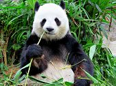 stock photo of endangered species  - panda eating bamboo - JPG