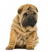 Shar pei puppy sitting and looking down (11 weeks old) isolated on white