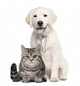 Golden Retriever puppy (14 weeks old) sitting next to a British Shorthair - isolated on white