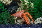 Picture of red crawfish in aquarium.