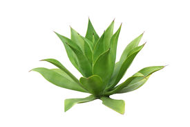 image of century plant  - Agave plant isolated on white - JPG