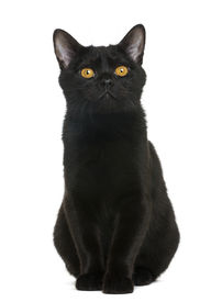 picture of american bombay  - Bombay kitten sitting and looking away - JPG