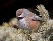 stock photo of chickadee  - A Boreal Chickadee fluffs up its feathers during a cold Canadian winter - JPG