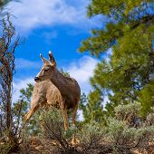 Elk Deer grazing in Arizona Grand Canyon National Park USA