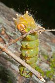 Yellow Haired Caterpillar