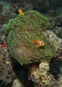 Twin Anemone Fish
