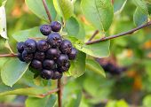 Black Chokeberries (aronia)
