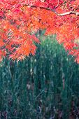 foto of horsetail  - Orange cut leaf Japanese maple and horsetail plant below - JPG