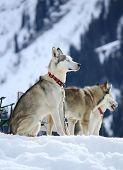 Siberian husky dogs resting