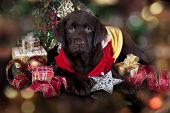 puppy chocolate  labrador and christmas present