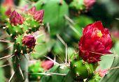 Blooming Cactus Closeup