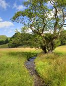 Alder Tree And Stream