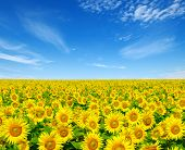 stock photo of sunflower  - sunflowers field on cloudy blue sky - JPG
