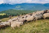 A flock of sheep in a mountain valley. Eco tourism in romanian charpatians mountains.