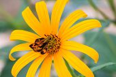 picture of jerusalem artichokes  - butterfly on Bibasis sena on Jerusalem artichoke flower - JPG