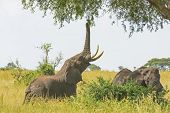 Elephant Getting Food From An Acacia Tree