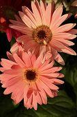 Gerbera daisy up close