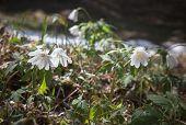Spring Snowdrops, Primroses. Spring Flowers.
