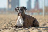 Boxer Dog At The Beach