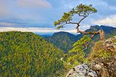 stock photo of pieniny  - The relic pine at top of mountain - JPG