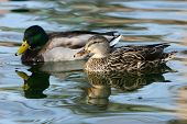 Mallard Ducks (anas Platyrhynchos) Male And Female