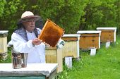 senior beekeeper making inspection in apiary in the springtime