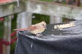foto of cardinals  - Northern Cardinal (Fledgling) sitting on a Bar B Q cover near a pile of seeds. The Cardinal is found from southern Canada through the eastern United States